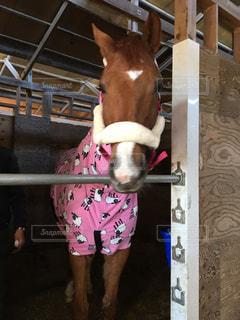 ピンク色のフリースを着た馬の写真・画像素材[1379282]