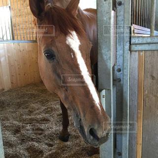 栗毛の馬がなにかを見つめての写真・画像素材[1379284]