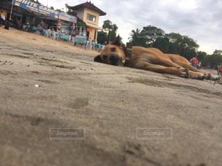 ビーチで横になっている大規模な茶色の犬の写真・画像素材[1379955]