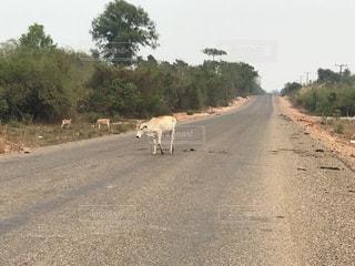 未舗装の道路の上を歩く牛の群れの写真・画像素材[1380183]