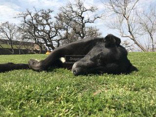 犬の昼寝の写真・画像素材[1446986]