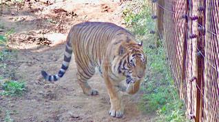 虎の写真・画像素材[1573467]