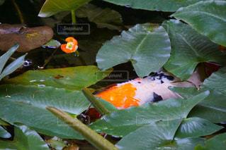 鯉の背中の写真・画像素材[1381925]