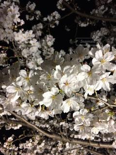 夜桜の写真・画像素材[1407967]