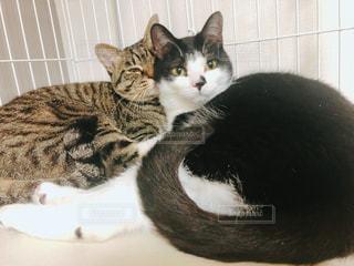 白い面の上に横たわる猫の写真・画像素材[1382530]
