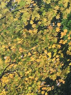 鎌倉 報国寺の紅葉の写真・画像素材[1383844]