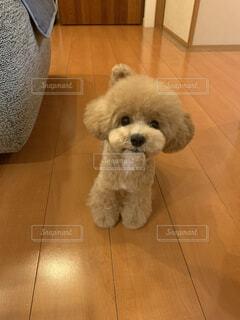 アフロにした愛犬トイプードルの写真・画像素材[4349649]