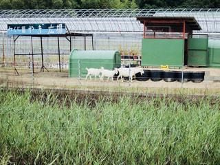 豊島のヤギの写真・画像素材[1395450]