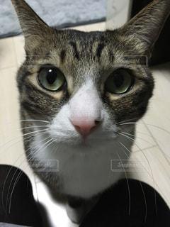 猫のアップの写真・画像素材[1383783]