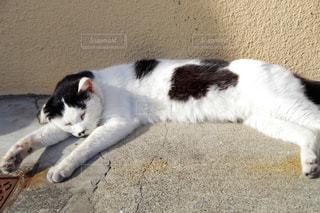 地面に横になっている白黒猫の写真・画像素材[1857159]