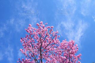 曇りの日にピンクの花の木の写真・画像素材[1904164]