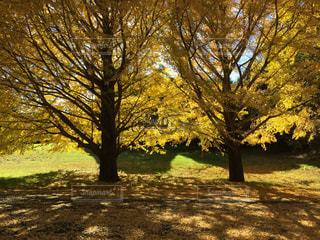 秋の紅葉 銀杏の木の写真・画像素材[1441724]