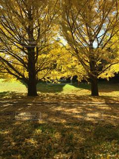 秋の紅葉 銀杏の木の写真・画像素材[1441727]