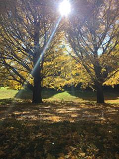 秋の紅葉 銀杏の木の写真・画像素材[1441730]