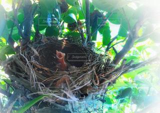 母鳥を待つ小鳥の写真・画像素材[2183506]