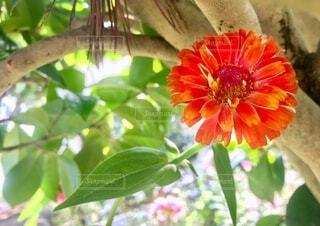 夏の暑い日 木陰で咲く 花 百日草の写真・画像素材[3763047]