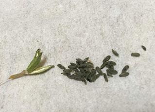 ハルオチアの種の写真・画像素材[1412228]