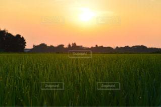 日の出に輝く朝露の写真・画像素材[1391755]