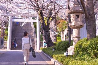 桜の木の下での写真・画像素材[1393219]