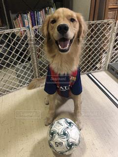 サッカーが好きな犬の写真・画像素材[1384764]