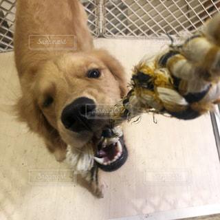 紐を引っ張って遊ぶ犬の写真・画像素材[1387961]