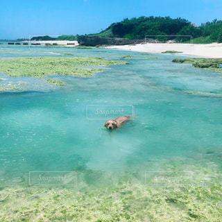 沖縄の海で泳ぐゴールデンレトリバーの写真・画像素材[1396607]