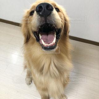 笑う犬の写真・画像素材[1418960]