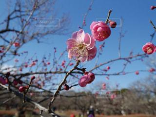 梅の花の写真・画像素材[1384771]