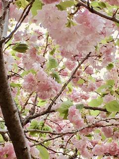 満開の八重桜の写真・画像素材[1386217]