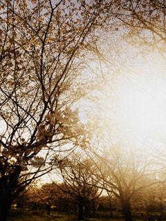 日差しの中の桜の写真・画像素材[1426079]