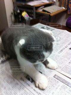テーブルの上に座って猫の写真・画像素材[1394305]