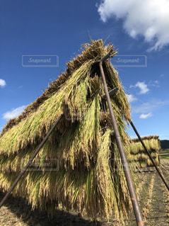 コンバインの稲刈りでは、出せない米の味の写真・画像素材[1491385]
