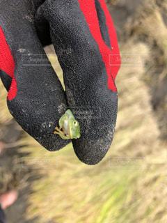 カエルの写真・画像素材[1575410]