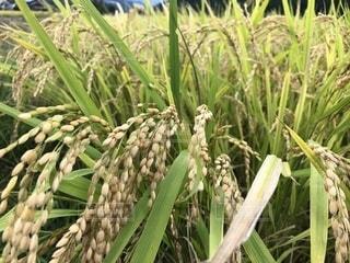 稲刈り前の稲の写真・画像素材[1575411]