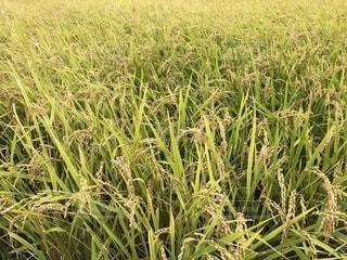 稲刈り前の米の写真・画像素材[1575412]