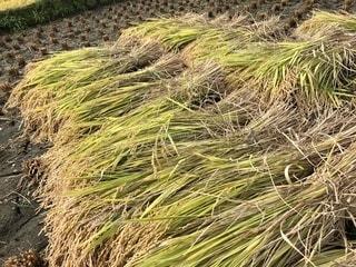 お米コンクールで1位になったお米の稲刈りの写真・画像素材[1575413]