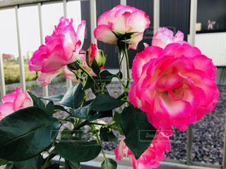庭のバラの写真・画像素材[1581196]