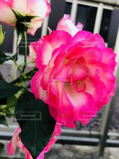 庭のバラの写真・画像素材[1581199]
