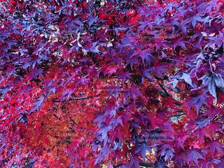 降り注ぐ赤の写真・画像素材[1650800]