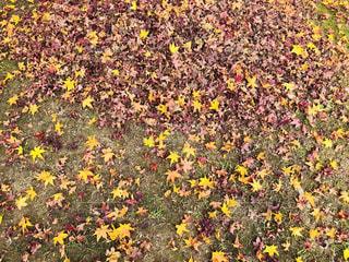 芝生に落葉の写真・画像素材[1650815]