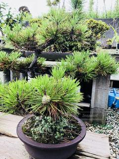 庭園の盆栽の写真・画像素材[1387991]