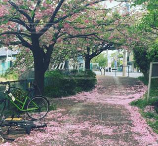 桜のじゅうたんと自転車の写真・画像素材[1388059]