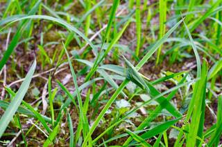 草の上にバッタの写真・画像素材[1391687]