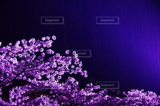 雨の夜桜の写真・画像素材[1391116]