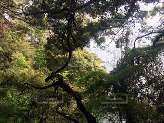 木の隣に立っているキリンの写真・画像素材[1389738]