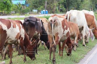 牛の群れの写真・画像素材[1430384]