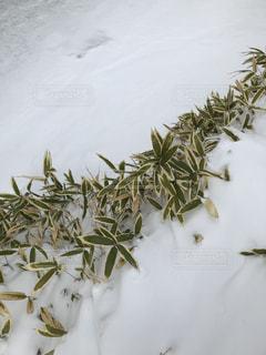 近く雪に覆われた笹の葉アップの写真・画像素材[1392976]