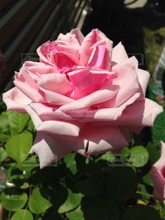 近くの花のアップの写真・画像素材[1394422]