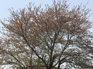大きな木の写真・画像素材[1394427]