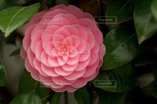 椿の花の写真・画像素材[1407076]